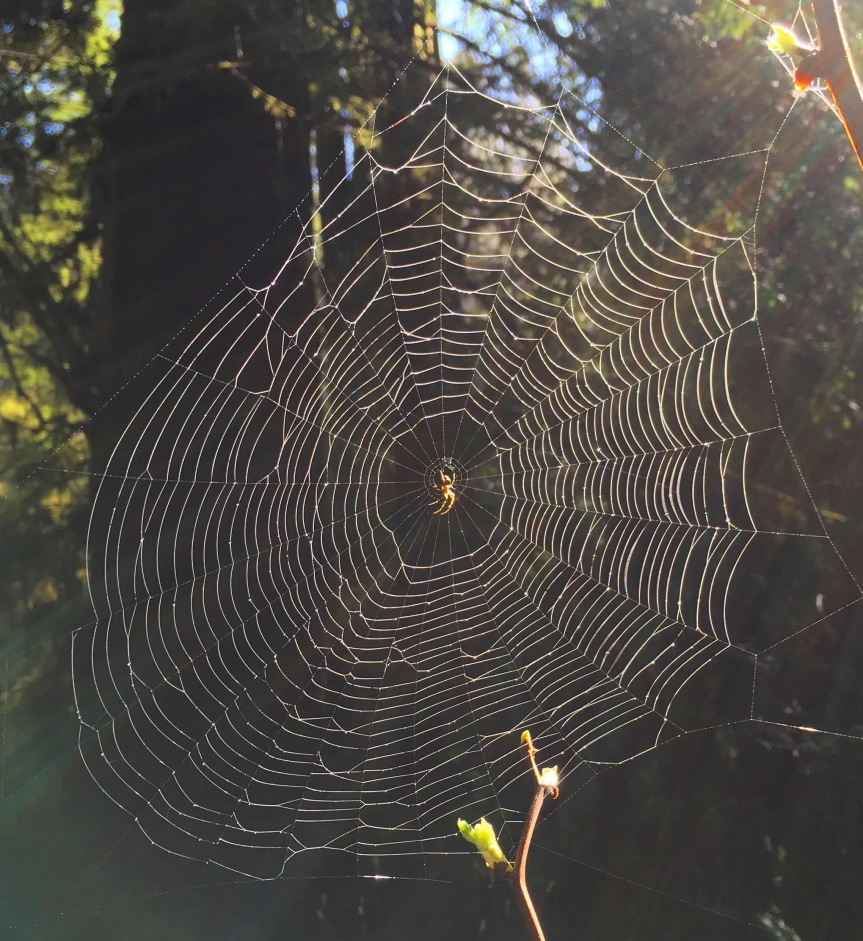 Redwoods6spiderweb