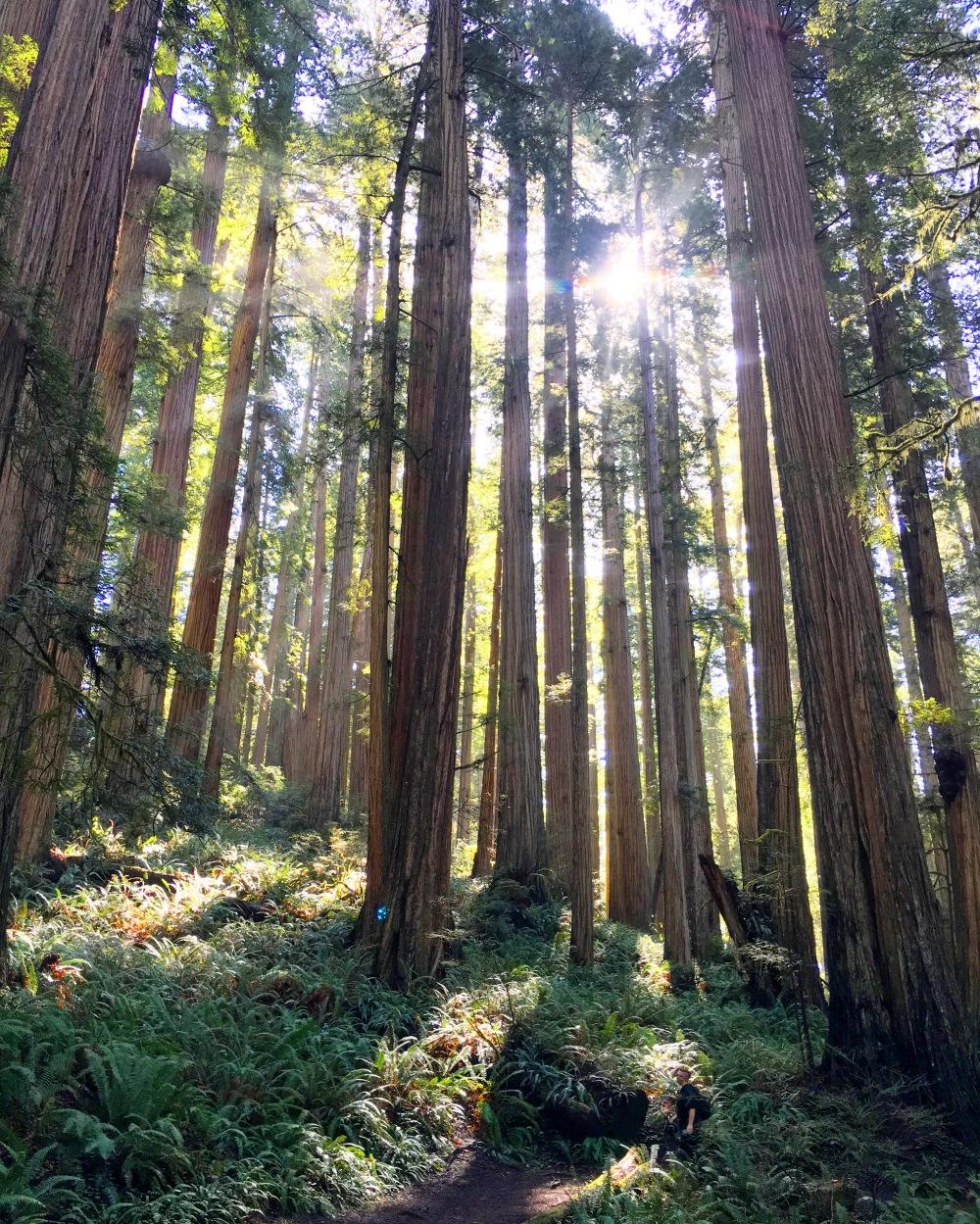 Redwoods8