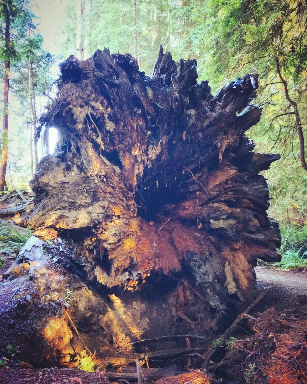 StoutGroveRedwoods